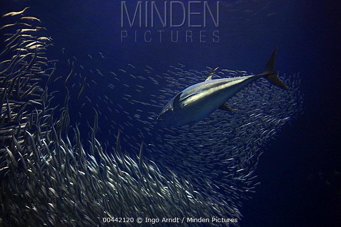 Pacific Bluefin Tuna (Thunnus orientalis) hunting Pacific Sardines (Sardinops sagax), California  -  Ingo Arndt