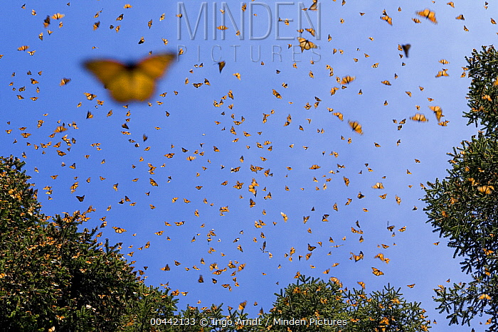 Monarch (Danaus plexippus) butterfly group flying, during a warm day when the overwintering period draws to an end large numbers become active, Michoacan, Mexico  -  Ingo Arndt