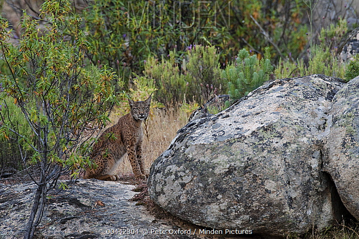 Spanish Lynx (Lynx pardinus) male, one year old, who has recently lost his GPS collar, Sierra de Andujar Natural Park, Andalusia, Spain  -  Pete Oxford