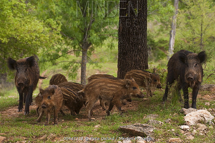 Wild Boar (Sus scrofa) group, Cazorla Natural Park, Andalusia, Spain  -  Pete Oxford