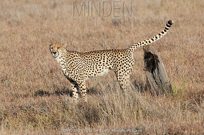 Cheetah (Acinonyx jubatus) male spraying tree stump to mark its territory, Lewa Wildlife Conservancy, Kenya  -  Tui De Roy