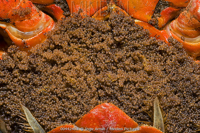 Minden Pictures Stock Photos Christmas Island Red Crab