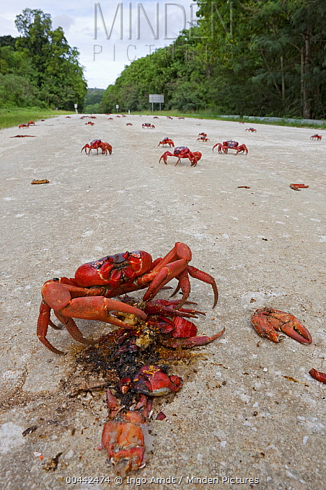 Christmas Island Red Crab (Gecarcoidea natalis) feeding on the remains of another crab crushed on the road, Christmas Island, Indian Ocean, Territory of Australia  -  Ingo Arndt