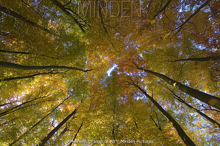 European Beech (Fagus sylvatica) in autumn colors, Hessen, Germany  -  Ingo Arndt