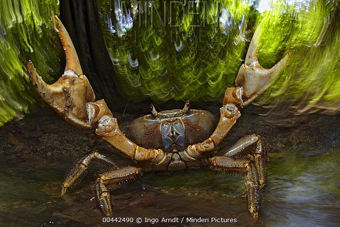 Blue Crab (Discoplax hirtipes) in defensive posture, Christmas Island, Indian Ocean, Territory of Australia  -  Ingo Arndt