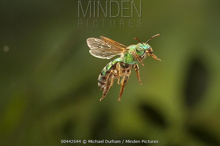 Andrenid Bee (Andrena ilicis) flying, Texas  -  Michael Durham