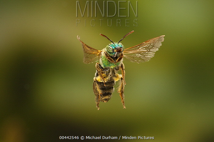 Andrenid Bee (Andrena ilicis) flying, covered with pollen, Texas  -  Michael Durham