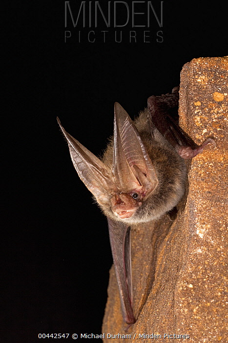 Eastern Big-eared Bat (Corynorhinus rafinesquii), Big Thicket National Preserve, Texas  -  Michael Durham