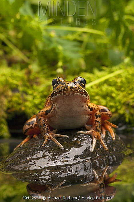 Red-legged Frog (Rana aurora) near Circle Creek along coast, Oregon  -  Michael Durham