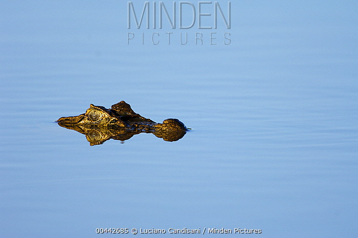 Broad-snouted Caiman (Caiman latirostris) with eyes above water surface, Bonito, Brazil