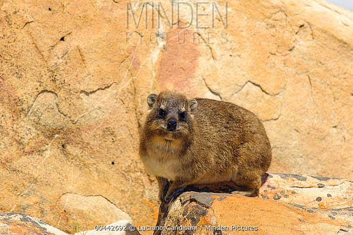 Rock Hyrax (Procavia capensis) portrait, Table Mountain National Park, South Africa