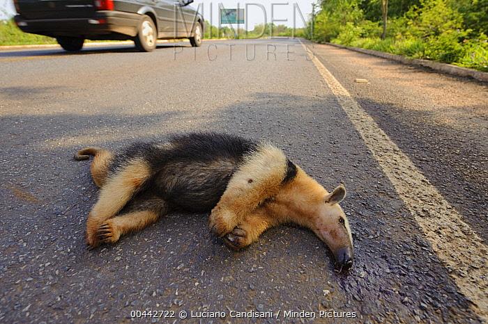 Southern Anteater (Tamandua tetradactyla) a road kill victim, Brazil
