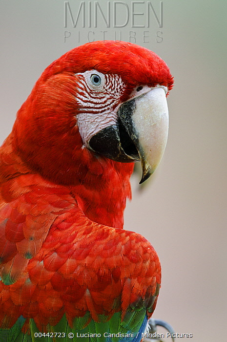 Red and Green Macaw (Ara chloroptera) portrait, Bodoquena Plateau, Brazil
