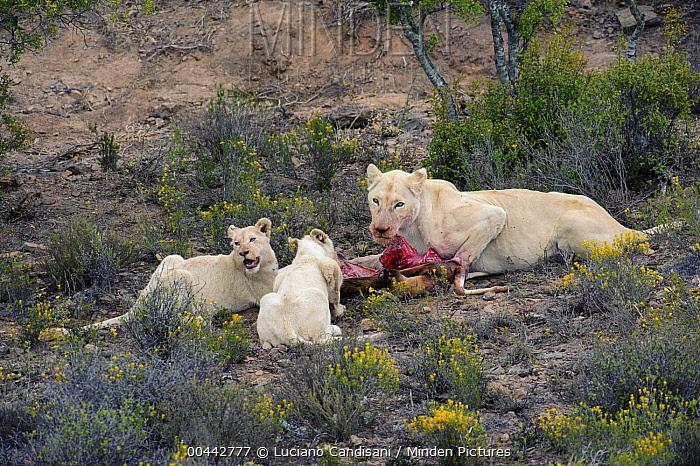 African Lion (Panthera leo) white adult female and juveniles eating Thomson's Gazelle (Eudorcas thomsonii), Sanbona Wildlife Reserve, South Africa