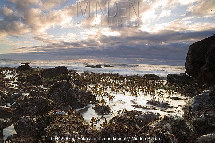 Sea Palm (Postelsia palmaeformis) clusters in the upper intertidal zone, Big Sur, California  -  Sebastian Kennerknecht
