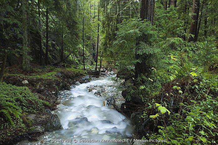 Coast Redwood (Sequoia sempervirens) forest and creek, Big Sur, California  -  Sebastian Kennerknecht