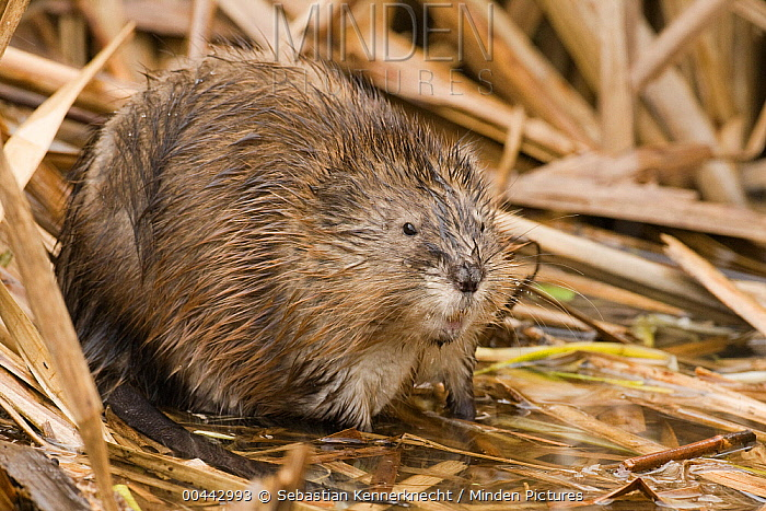 Muskrat (Ondatra zibethicus) sitting on reeds, Watsonville, Monterey Bay, California  -  Sebastian Kennerknecht