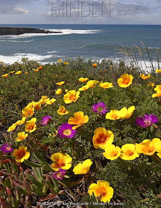 California Poppy (Eschscholzia californica) and Iceplant (Mesembryanthemum sp), Montano de Oro State Park, California  -  Tim Fitzharris
