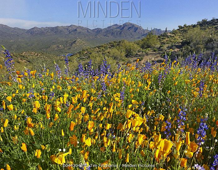 California Poppy (Eschscholzia californica) and Lupine (Lupinus sp), Bartlett Lake State Park, Arizona  -  Tim Fitzharris
