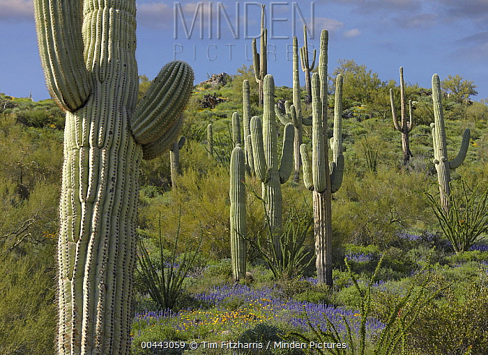 Saguaro (Carnegiea gigantea) cacti and Lupine (Lupinus sp) at Gonzales Pass, Tonto National Forest, Arizona  -  Tim Fitzharris