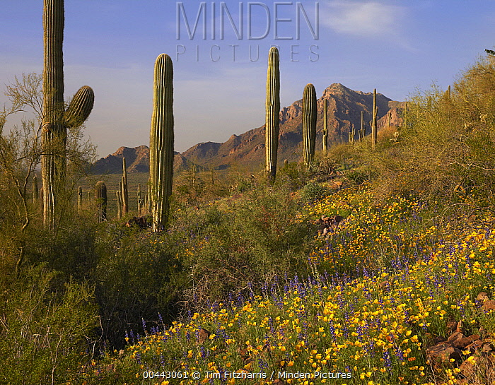 Saguaro (Carnegiea gigantea) cacti and California Poppy (Eschscholzia californica) field at Picacho Peak State Park, Arizona  -  Tim Fitzharris