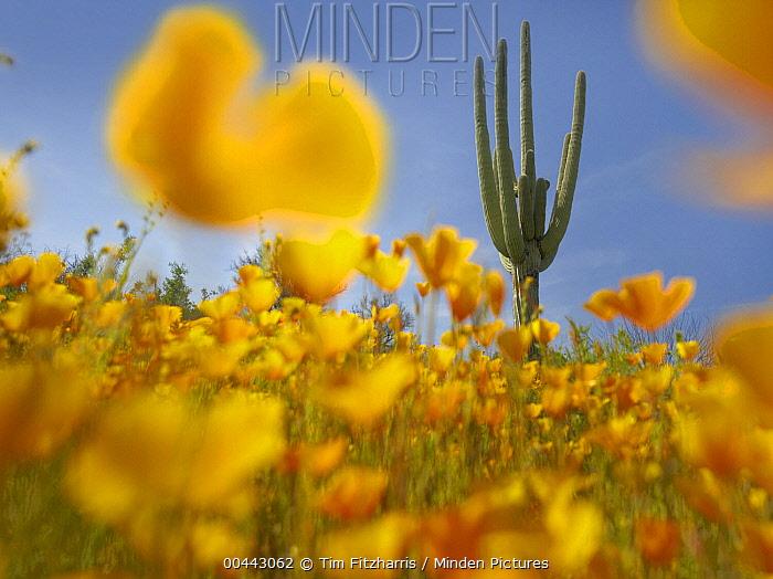 Saguaro (Carnegiea gigantea) cactus and California Poppy (Eschscholzia californica) field at Gonzales Pass, Tonto National Forest, Arizona  -  Tim Fitzharris
