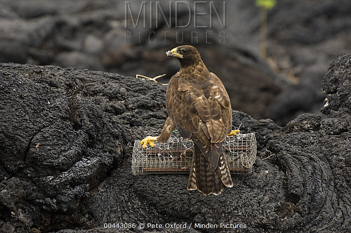 Galapagos Hawk (Buteo galapagoensis) lured by caged rat for capture and study, Galapagos Islands, Ecuador  -  Pete Oxford