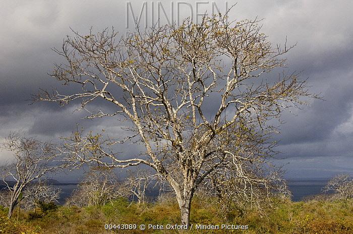 Palo Santo (Bursera graveolens) tree growing in the arid zone of Santiago Island, Galapagos Islands, Ecuador  -  Pete Oxford