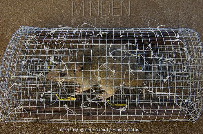Rat (Rattus sp) in trap for luring Galapagos Hawk (Buteo galapagoensis) for capture and study, Galapagos Islands, Ecuador  -  Pete Oxford