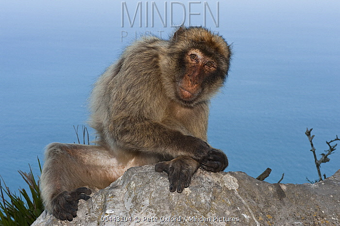 Barbary Macaque (Macaca sylvanus), Gibraltar, United Kingdom  -  Pete Oxford