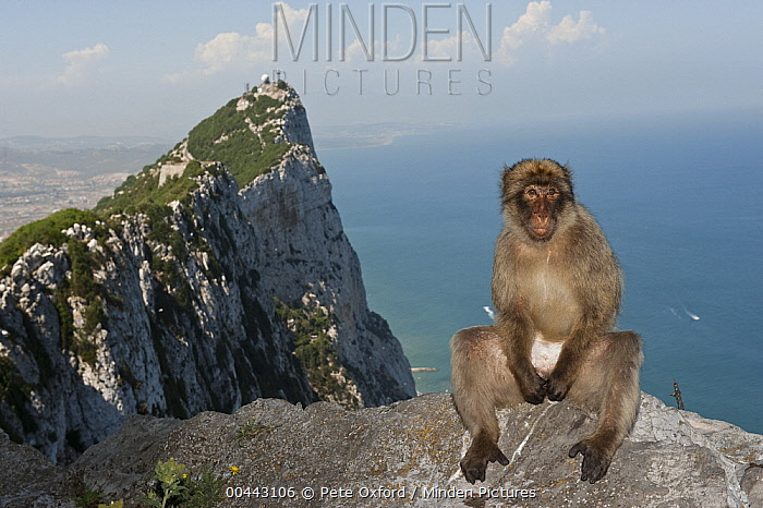 Barbary Macaque (Macaca sylvanus) sitting on edge of cliff, Gibraltar, United Kingdom  -  Pete Oxford