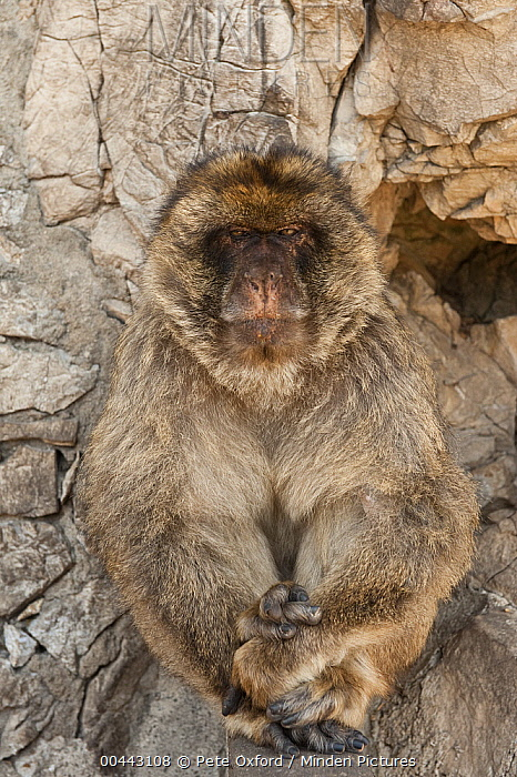 Barbary Macaque (Macaca sylvanus) sitting adult, Gibraltar, United Kingdom  -  Pete Oxford