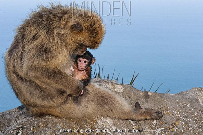 Barbary Macaque (Macaca sylvanus) adult grooming baby, Gibraltar, United Kingdom  -  Pete Oxford