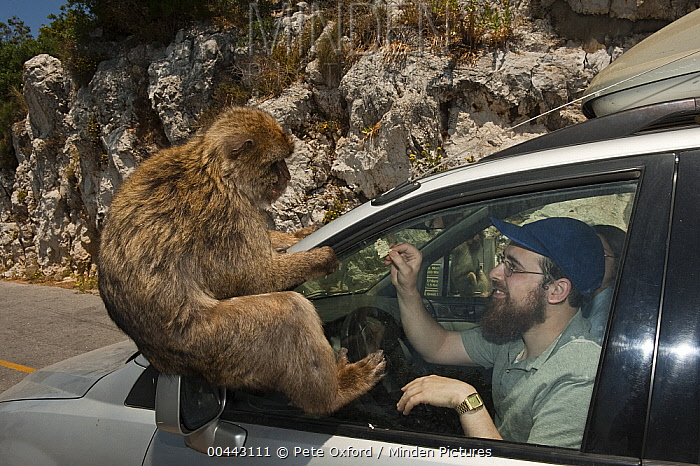 Barbary Macaque (Macaca sylvanus) being illegally fed by tourists, Gibraltar, United Kingdom  -  Pete Oxford