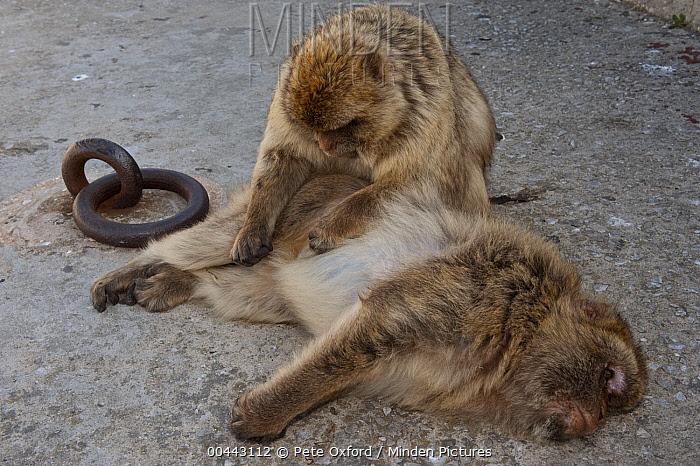Barbary Macaque (Macaca sylvanus) grooming, Gibraltar, United Kingdom  -  Pete Oxford
