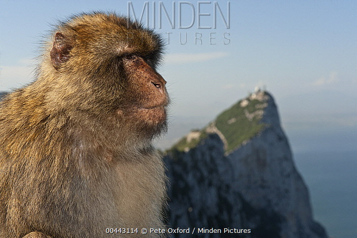 Barbary Macaque (Macaca sylvanus) looking off into the distance, Gibraltar, United Kingdom  -  Pete Oxford