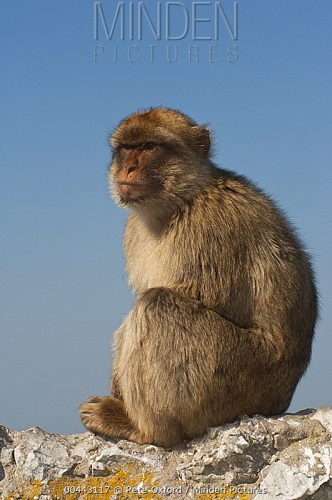 Barbary Macaque (Macaca sylvanus) sitting on rocks, Gibraltar, United Kingdom  -  Pete Oxford