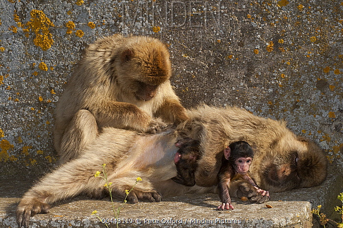 Barbary Macaque (Macaca sylvanus) holding baby while being groomed, Gibraltar, United Kingdom  -  Pete Oxford