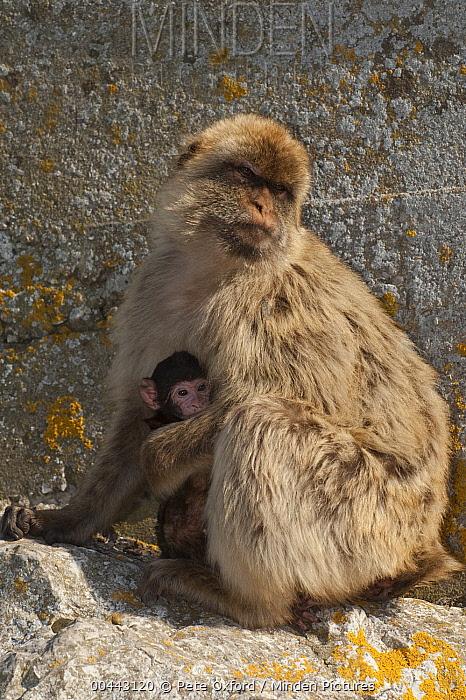Barbary Macaque (Macaca sylvanus) parent holding baby, Gibraltar, United Kingdom  -  Pete Oxford