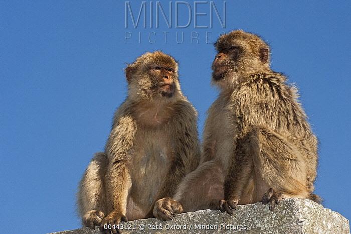 Barbary Macaque (Macaca sylvanus) pair, Gibraltar, United Kingdom  -  Pete Oxford
