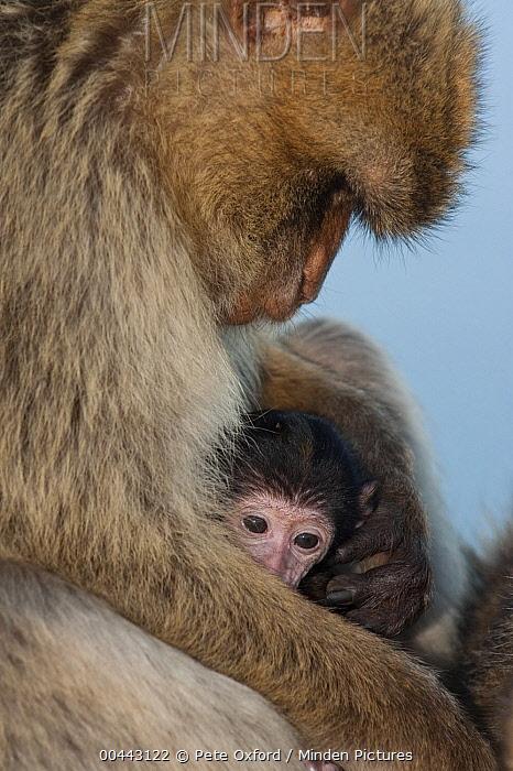 Barbary Macaque (Macaca sylvanus) parent and baby, Gibraltar, United Kingdom  -  Pete Oxford