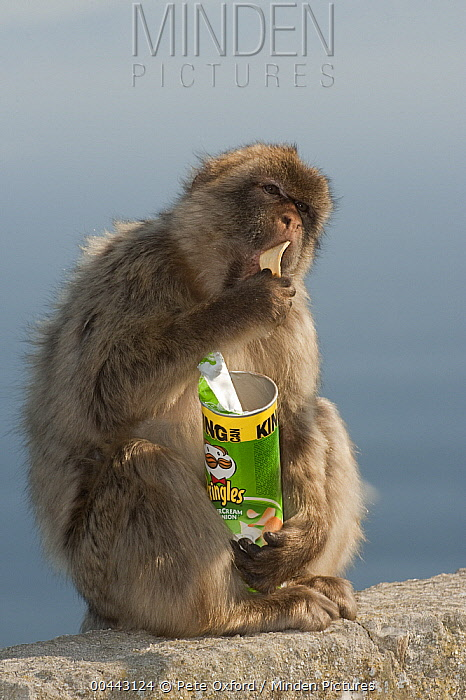 Barbary Macaque (Macaca sylvanus) eating potato chips stolen from tourist, Gibraltar, United Kingdom  -  Pete Oxford