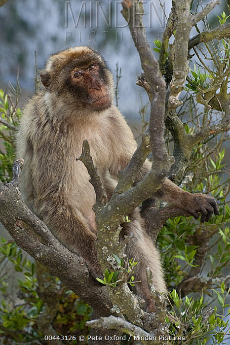 Barbary Macaque (Macaca sylvanus) sitting in tree, Gibraltar, United Kingdom  -  Pete Oxford