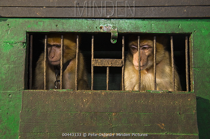 Barbary Macaque (Macaca sylvanus) used for tourists photos, Marrakesh, Morocco  -  Pete Oxford