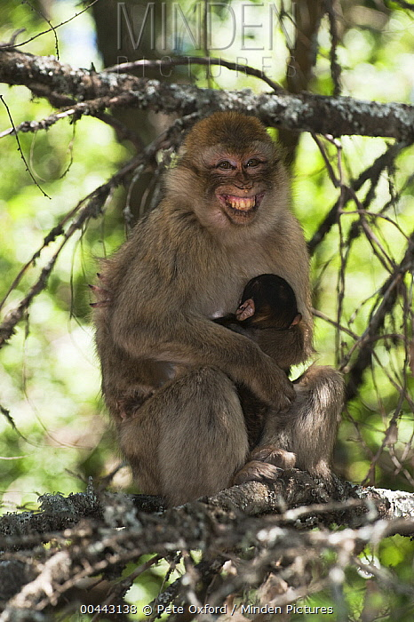 Barbary Macaque (Macaca sylvanus) grimacing parent holding baby, Cedar Forests of Azrou, Atlas Mountains, Morocco  -  Pete Oxford