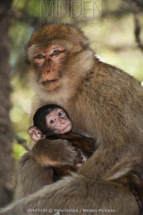 Barbary Macaque (Macaca sylvanus) parent holding baby, Cedar Forests of Azrou, Atlas Mountains, Morocco  -  Pete Oxford