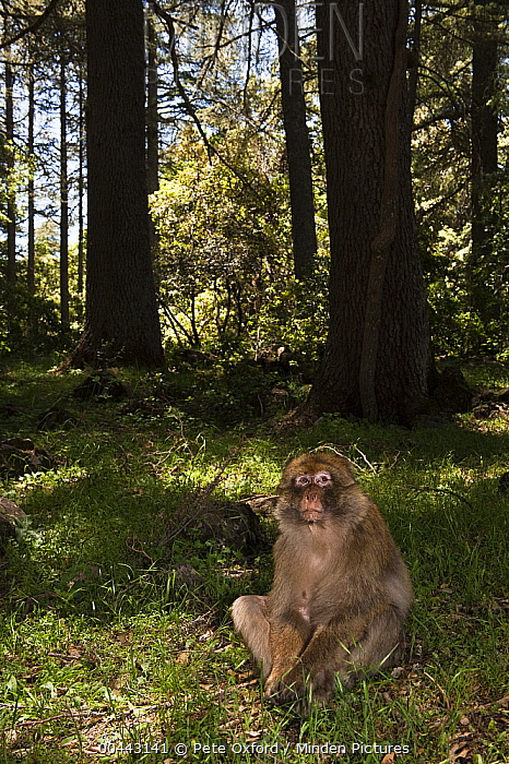 Barbary Macaque (Macaca sylvanus) sitting on forest floor, Cedar forest of Azrou, Atlas Mountains, Morocco  -  Pete Oxford