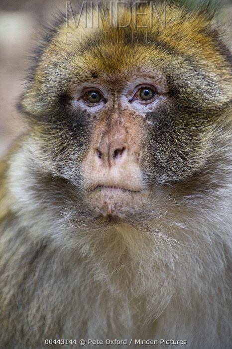 Barbary Macaque (Macaca sylvanus), Cedar forests of Azrou, Atlas Mountains, Morocco  -  Pete Oxford
