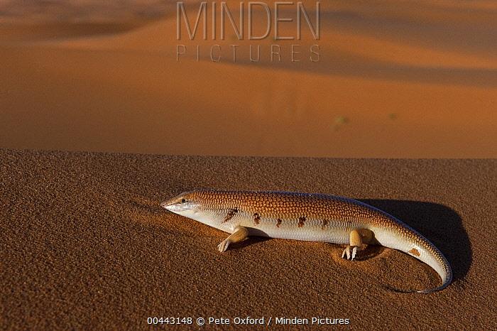 White-banded Sand Fish (Scincus albifasciatus laterimaculatus) a sand dwelling skink, dunes of Erg Chebbi, Morocco  -  Pete Oxford