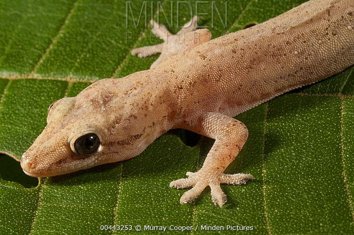 Moreau's Tropical House Gecko (Hemidactylus mabouia), Amazon, Ecuador  -  Murray Cooper